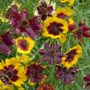 Coreopsis Incredible Dwarf Mix Seeds