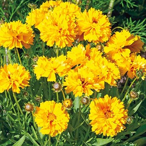 Z Coreopsis Sundrops Seeds
