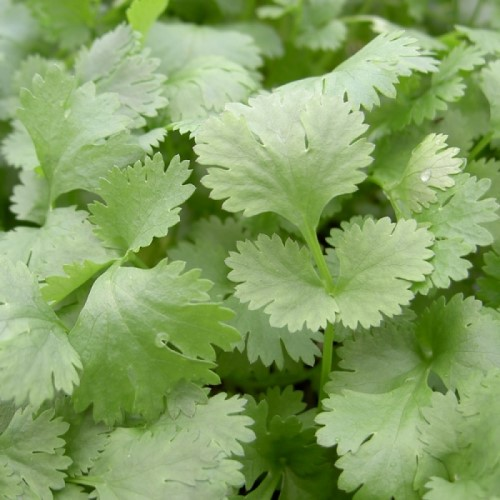 Coriander Leisure Herb Seeds