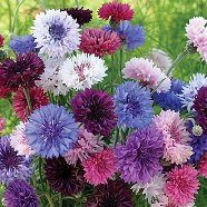 Cornflower Tall Mix Seeds