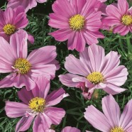 Cosmos Sensation Pinkie Seeds