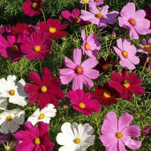 Cosmos Dwarf Sensation Mix Seeds