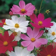 Cosmos Sensation Mix Country Value Range Seed