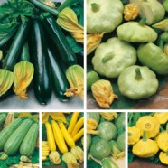 Courgette & Summer Squashes Collection Mr Fothergills Range Seed