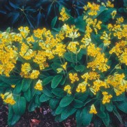 Cowslip Mr Fothergill's Range Seed