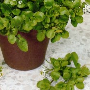 Cress American Seeds