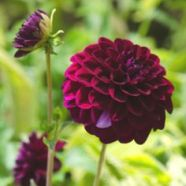 Dahlia Boom Boom Purple (1 Root)