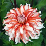 Dahlia Dolly H (1 Root)