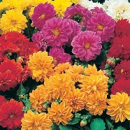 Dahlia Dwarf Double Mix Country Value Range Seed