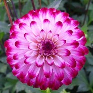Dahlia Little Robert (1 Root)