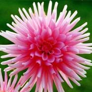 Dahlia Park Princess (1 Root)