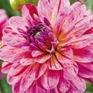 Dahlia Tropical (1 Root)