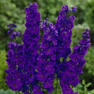 Delphinium Black knight (9cm)