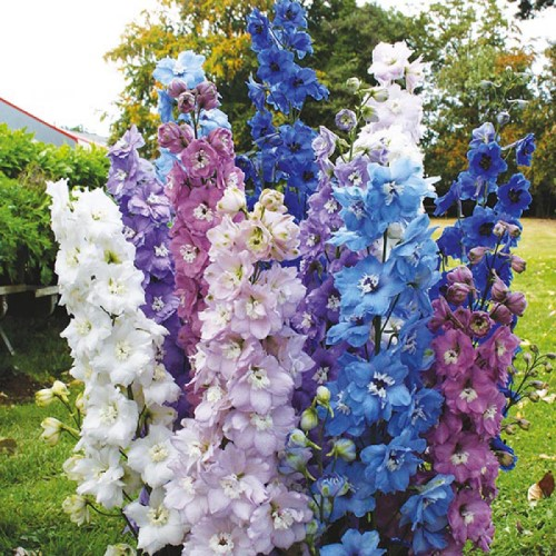 Delphinium High Society Mix Seed