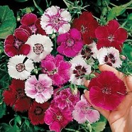 Dianthus Baby Doll Mix Seeds