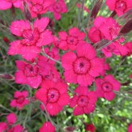 Dianthus deltoides Flashing Lights (9cm)