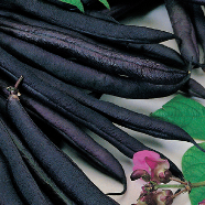 Dwarf Bean Purple Queen Mr Fothergill's Seed