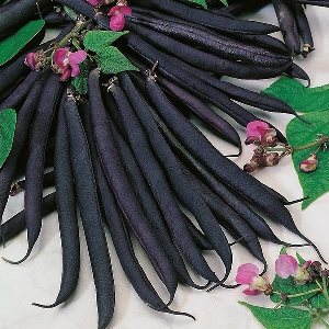 Dwarf Bean Purple Queen Mr Fothergill's Range Seed