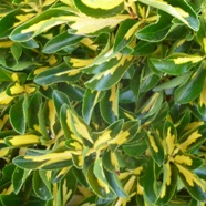 z Euonymus Fortunei Sunspot (1.5 Ltr)