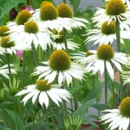 Echinacea White Swan Primadonna Seeds