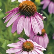 Echinacea Large Flowered Seeds