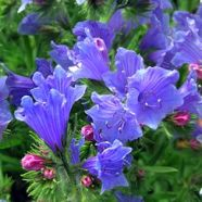 Echium Blue Bedder Seeds