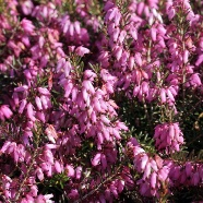Erica March Seedling (13cm)