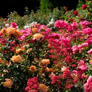 . Rose Floribunda Collection  (5 Roots)