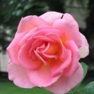 Rose Fascination Floribunda (5ltr)