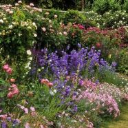 Flowering Perennial Collection for Cottage Garden (9cm)