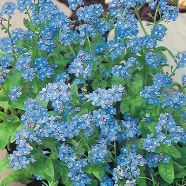 Forget Me Not Blue Seeds