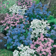 Forget Me Not Mix Mr Fothergill's Seed