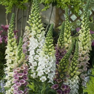 Foxglove Candy Mountain Seeds