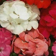 Geranium Mixed F2 Country Value Range Seed
