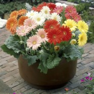 Gerbera Cut Flower Mix Seeds