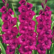 Gladiolus Plum Tart (5 Bulbs)
