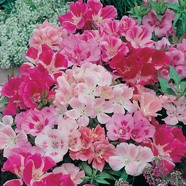 Godetia Dwarf Mix Country Value Range Seed