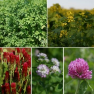 Green manure Summer Mix Seeds