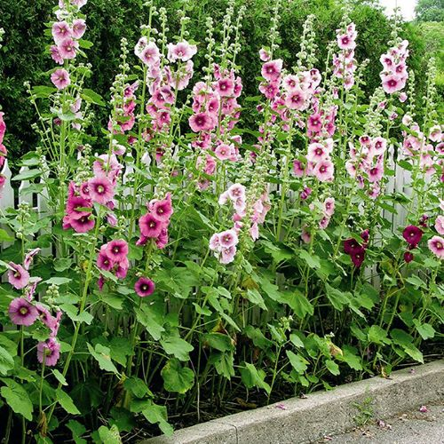 Hollyhock Single Mixed Seeds