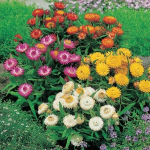 Helichrysum Double Mix Seeds