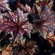 Heuchera Palace Purple Multi-Pack (9cm Pot (4))