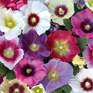 Hollyhock Halo Mixed Seeds