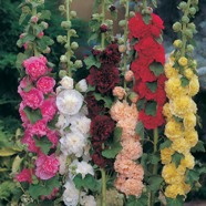 Hollyhock Double Mix Seeds