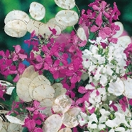 Honesty Purple & White Mix Mr Fothergill's Seed