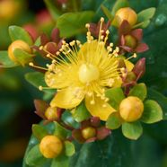 Hypericum androsaemum Orange Flair (1.5 L)