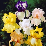 Iris Germanica Mixed (9cm)
