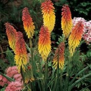 Kniphofia Red Hot Poker Seeds