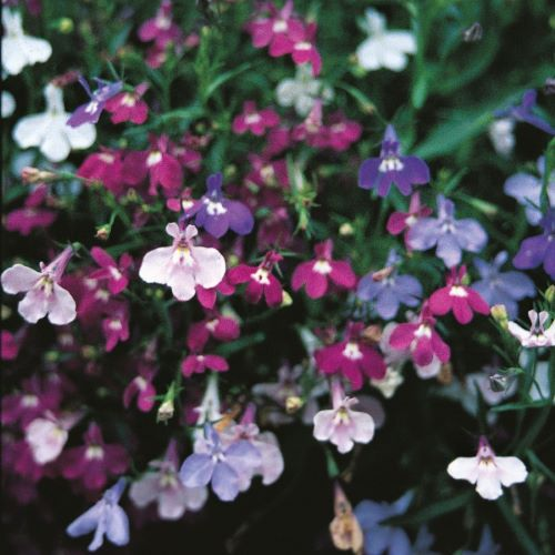 Lobelia Pendula Cascade Mixed Seeds