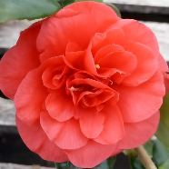 Camellia japonica Lady Campbell (9cm)
