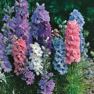 Larkspur Hyacinth Dwarf Mixed Seeds